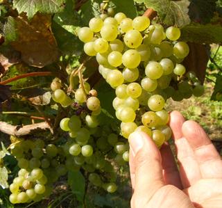 ニセコ ぶどう畑 ワイン