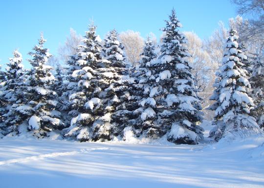 樹氷 クリスマスツリー 冬 雪
