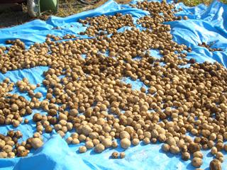 ニセコ ジャガイモ収穫
